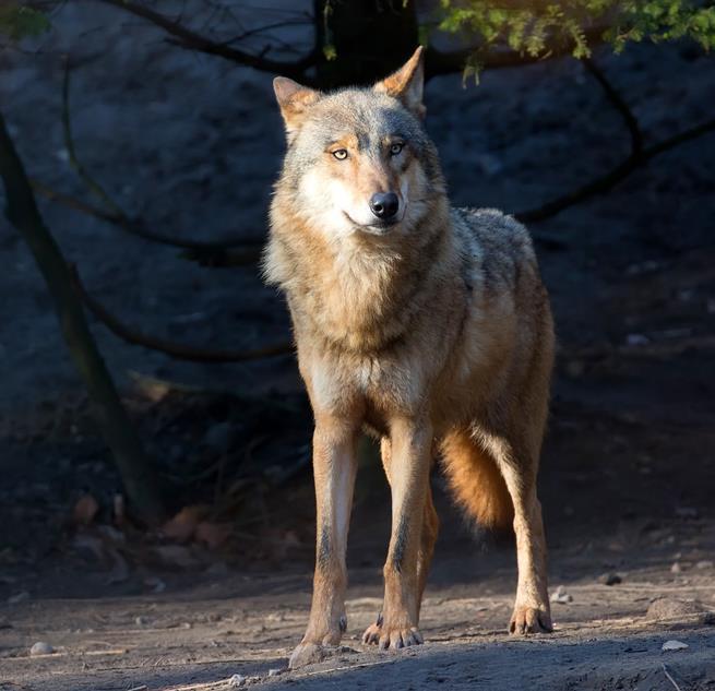 Wolf, Sinnbild des alten Wissens