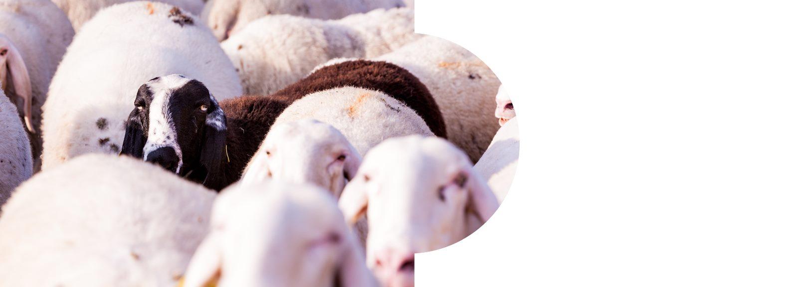 Sliderbild Schafe Individualität